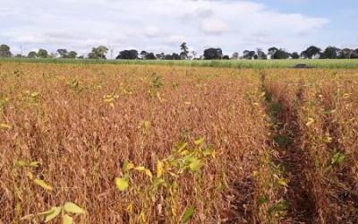 Instabilidade climática eleva perdas nas lavouras de soja em até 80%